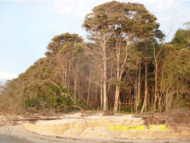 sawo kecik tanaman hutan pantai alas purwo